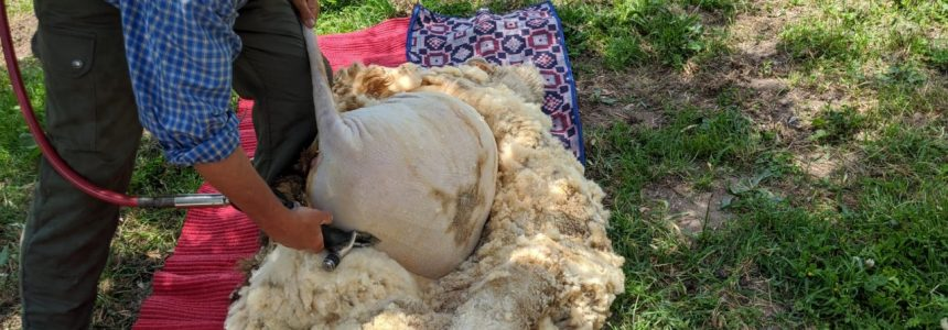 Tosquia das Ovelhas